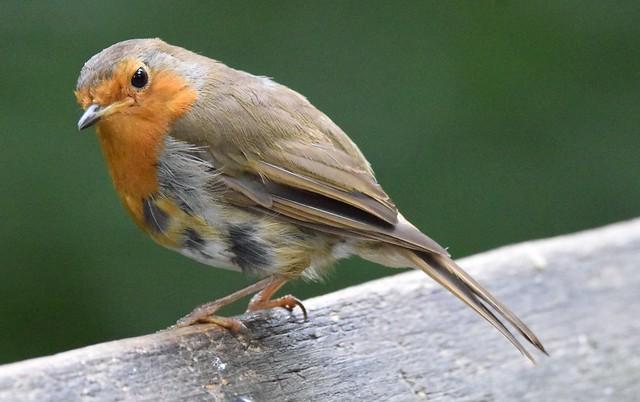 Immature Robin, Stover Park, Devon