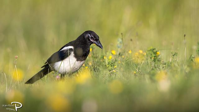 Pie bavarde (Domaine des oiseaux - 09)