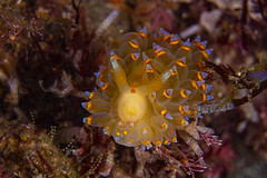 nudibranch5Jun27-20