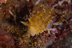 nudibranch4Jun27-20