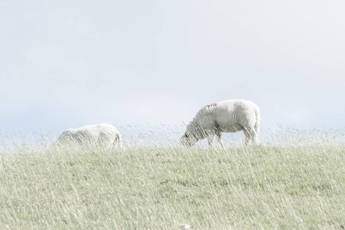 just sheep