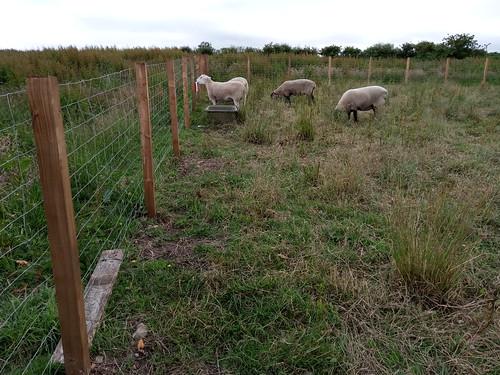 mineral lick and sheep Jul 20