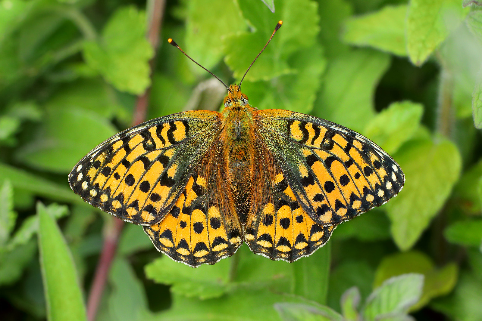 Dark Green Fritillary, Friston Forest