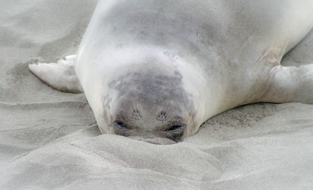 Elephant Seal Snorkeling into the Sand