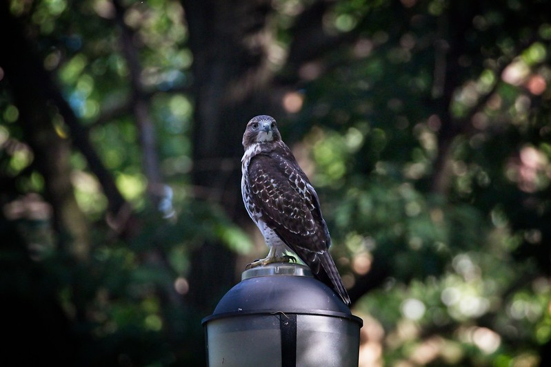 Fledgling red-tail on a lamp post