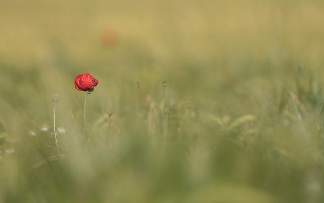 Lonely poppy!