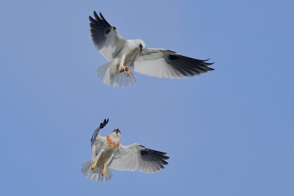 Black-shouldered Kites ( Dad just keeps going  up high