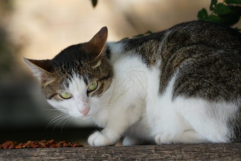 Sony α7Ⅱ+TAMRON 28 200mm f2 8 5 6 Di Ⅲ RXD東池袋中央公園の猫だまり キジ白