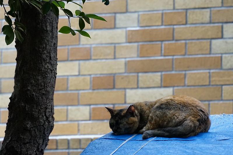 Sony α7Ⅱ+TAMRON 28 200mm f2 8 5 6 Di Ⅲ RXD東池袋中央公園の猫だまり 錆虎