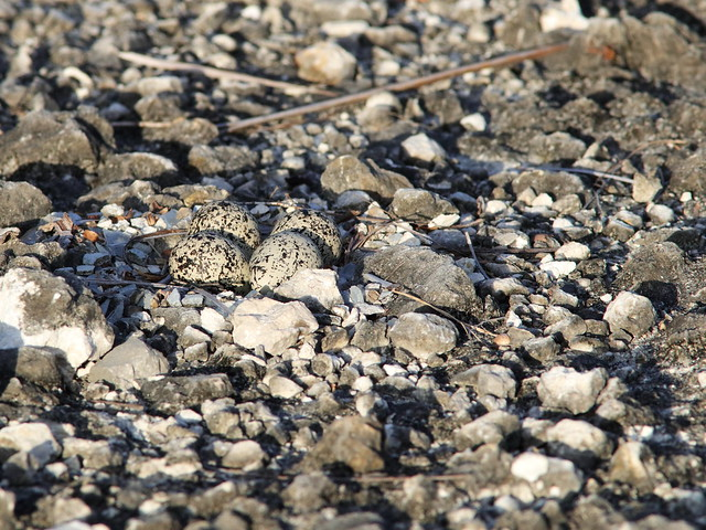 Killdeer nest 20200702