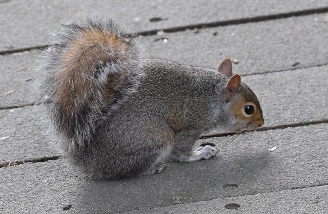 Grey Squirrel, Stover Park, Devon