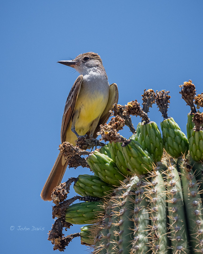 Brown-crested Flycatcher 20190619_3244