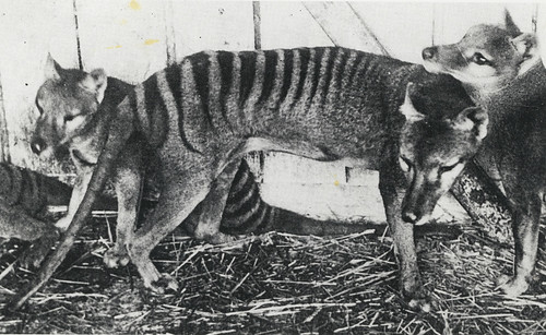Thylacines (Tasmanian Tigers), at Beaumaris Zoo, Hobart, ca. 1918, State Library of New South Wales | by State Library of New South Wales collection