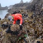 intertidal surveys_Cascade Head_3