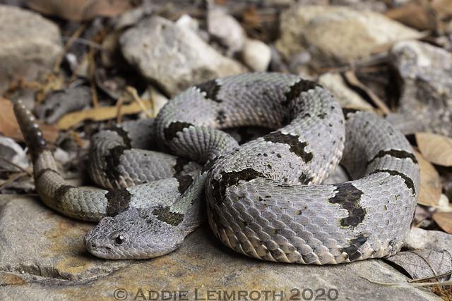 Crotalus lepidus - Santa Cruz County, AZ