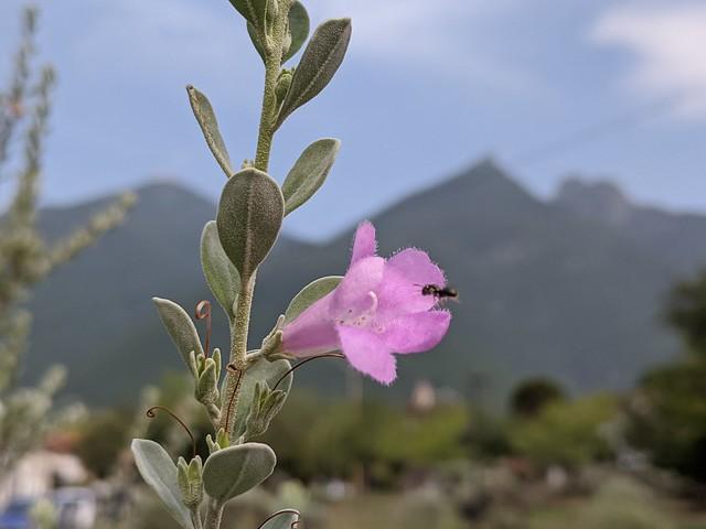 Cenizo (Leucophyllum frutescens)