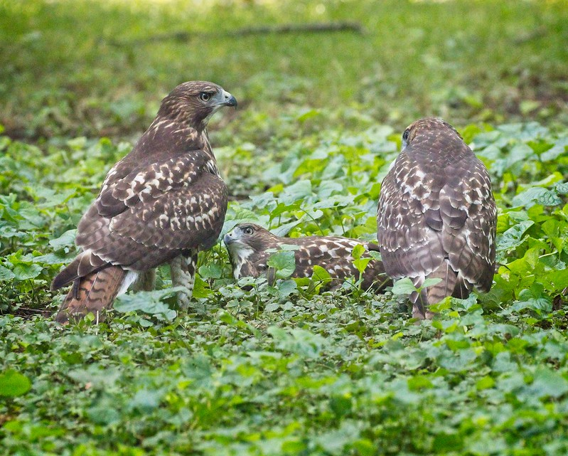 Three Red-tail siblings playing games in the grass