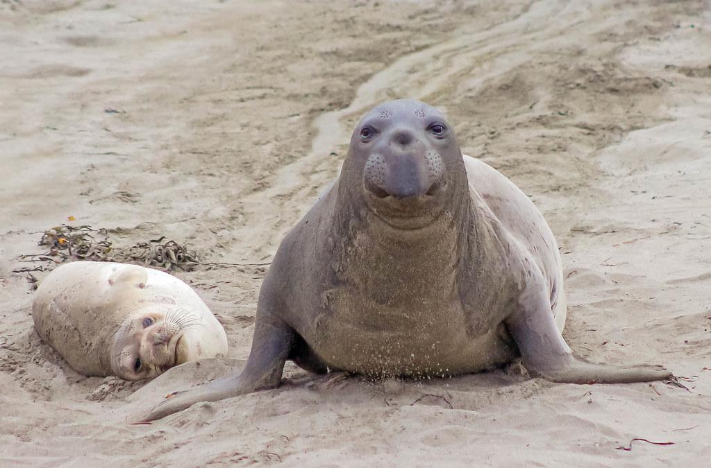 Friendly Funny Elephant Seals