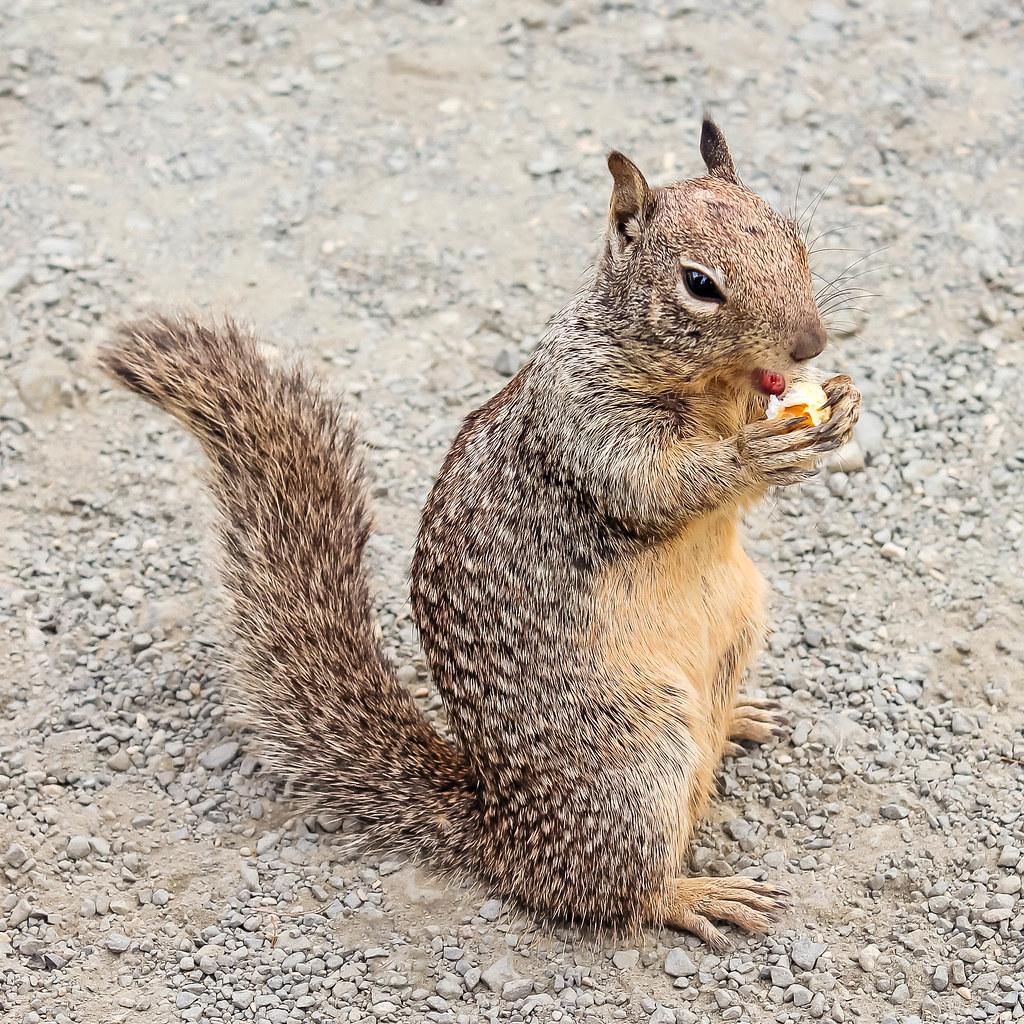 Beach Squirrel Eating Popcorn