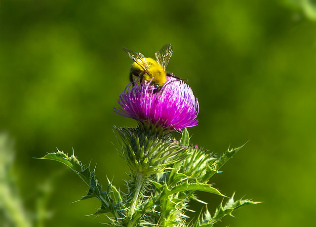 Thistle with Bee on Flower 14