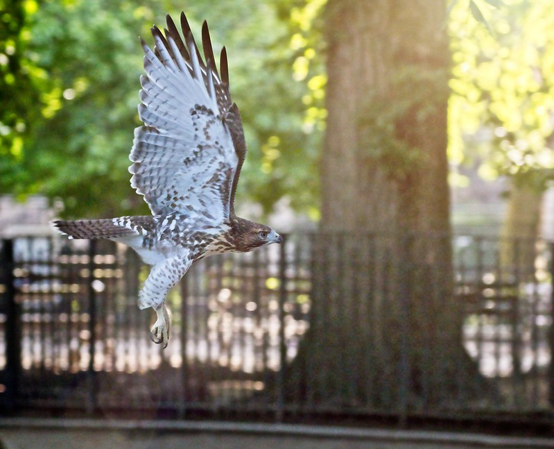 Tompkins Square red-tail fledgling cruising through the park