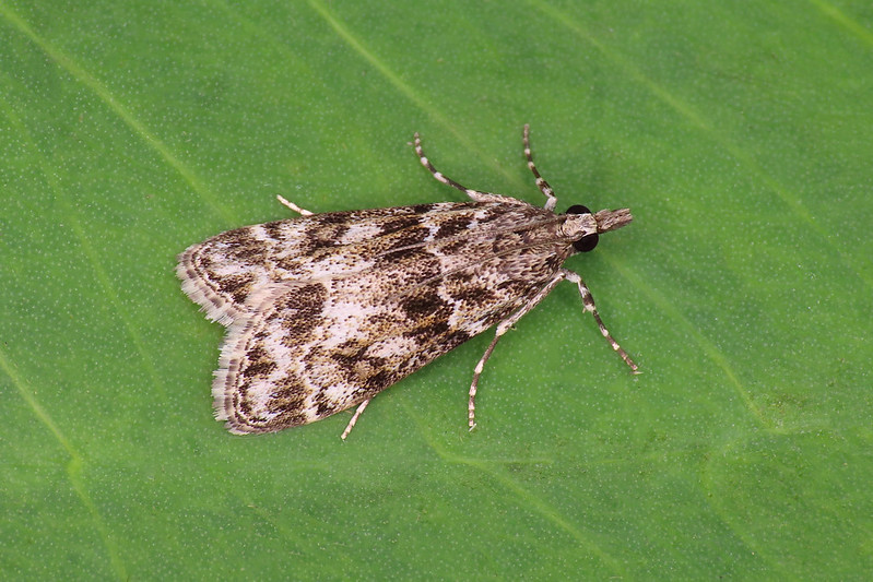 63.067 Little Grey - Eudonia lacustrata