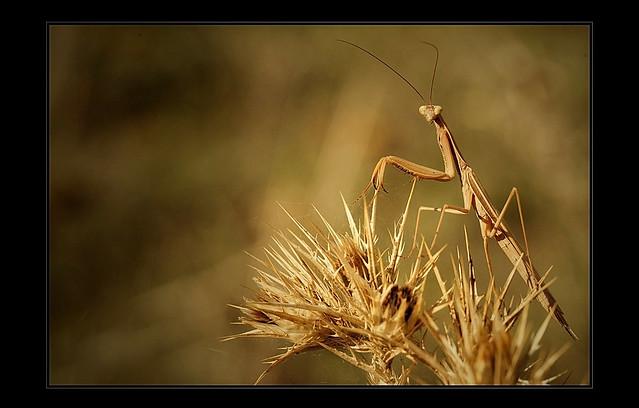 Volwassen vrouwtje Mantis religiosa