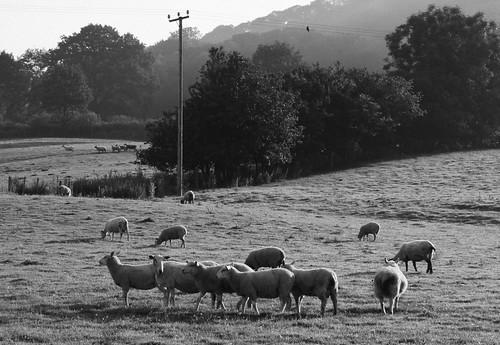 defaid ardiak caoirigh caoraich deñved moutons sheep llanbrynmair maldwyn landscape tirlun maezioù paisaje tírdhreach paisaia cruthtìre powys amaethyddiaeth agriculture labourdouar tuathanachas talmhaíocht nekazaritza laborantza ewrop europe eòrpa europa aneoraip a'chuimrigh kembra wales cymru kembre gales galles anbhreatainbheag 威爾斯 威尔士 monochrome unlliw blancoynegro zwartwit duagwyn gwennhadu dubhagusgeal dubhagusbán blackandwhite bw zuribeltz blancetnoir blackwhite