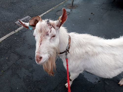 goat without horn Jul 20