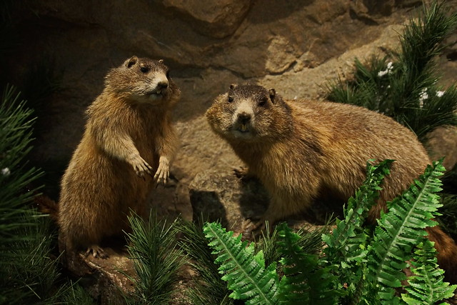 Alpen-Murmeltier / Alpine marmot
