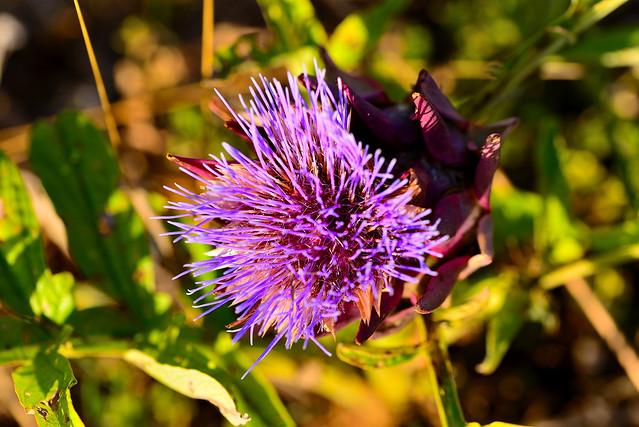 Fiore del carciofo