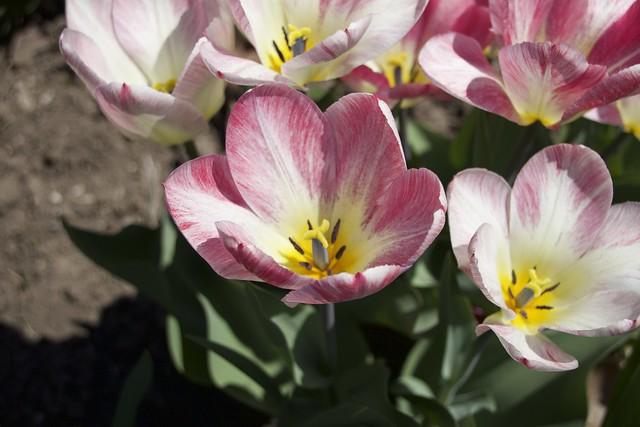 Orillia Ontario Canada ~ Leacock Museum ~ Boat House ~ Heritage Site ~ Rembrandt tulips