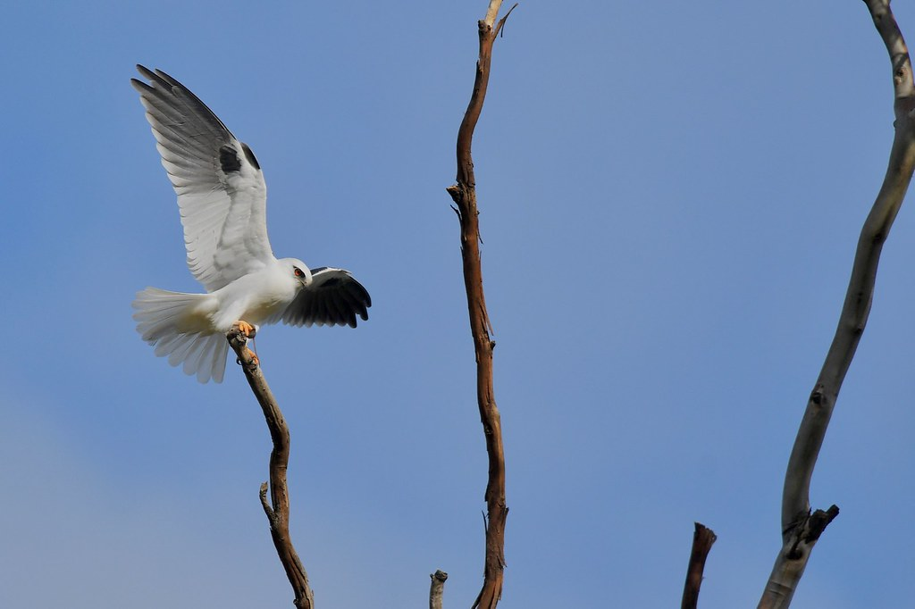 Black-shouldered Kite ( he takes the mouse to the nest )