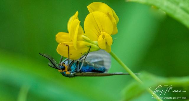 Virginia Ctenucha Moth hanging on