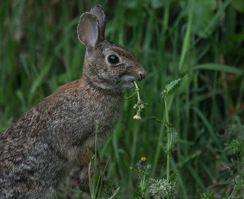 silvilagusfloridanus columbiachildrensarboretum portland multnomahco oregon rabbit easterncottontail cottontail