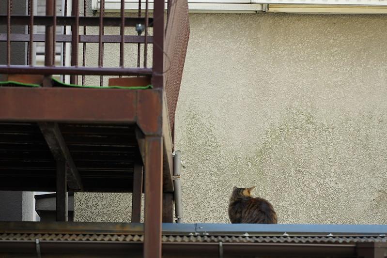 Sony α7Ⅱ+TAMRON 28 200mm f2 8 5 6 Di Ⅲ RXD池袋一丁目児童遊園の猫 キジ虎