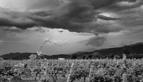 pentax k1 smcpentaxdfa50mmf28macro vineyard storm monochrome blackandwhite shaloshvili shilda georgia