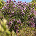 2020-MFDG257-Dig Lilac bush in full bloom