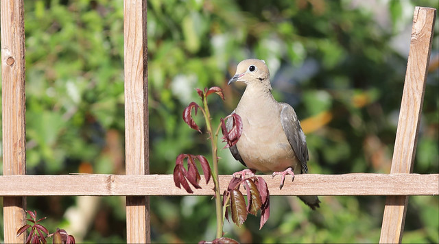 5DM40882 Mourning Dove in my backyard. Corona, California USA
