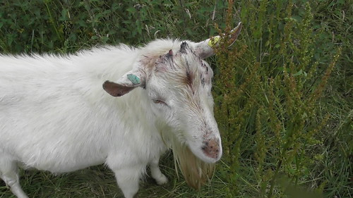 goat with horns removed Jul 20