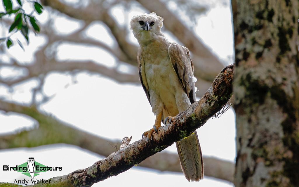 606 Harpy Eagle - Andrew Walker 001