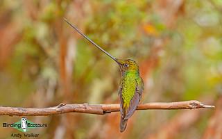 207 Sword-billed Hummingbird - Andrew Walker 001