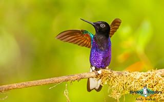 195 Velvet-purple Coronet - Andrew Walker 002