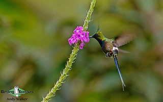 156 Wire-crested Thorntail - Andrew Walker 001