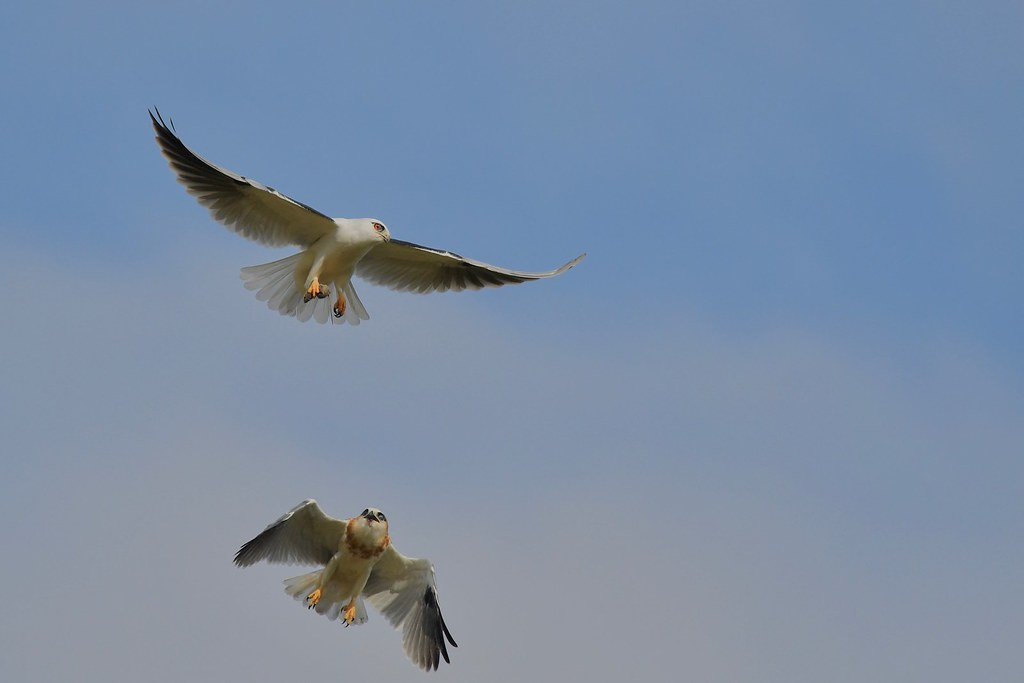 Black-shouldered Kites ( Dad is not passing the mouse  over )