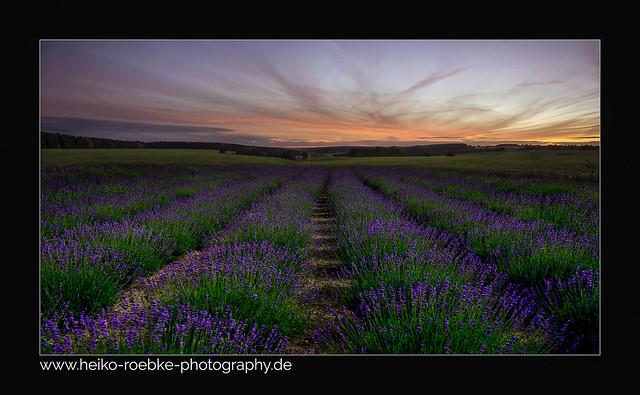 lavender dream!