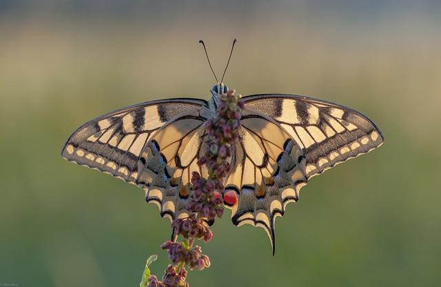 *the cheeky swallowtail*