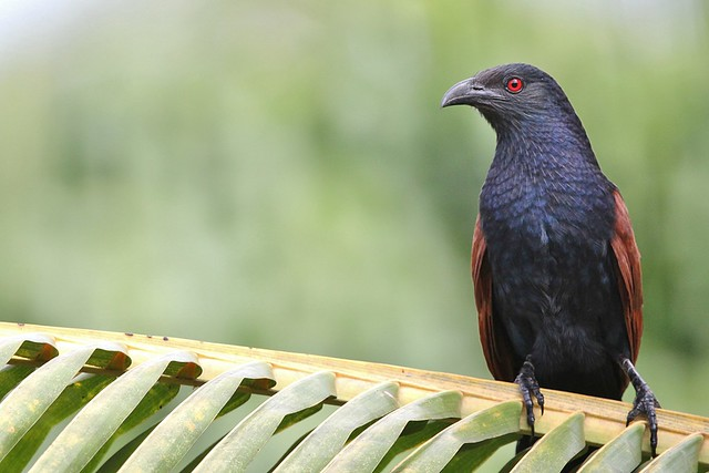 Greater Coucal (Crow-Pheasant)