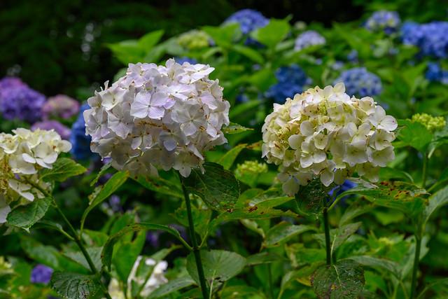 Hydrangea(Ajisai、紫陽花、あじさい、あぢさゐ)
