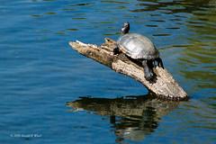pond turtle 0634